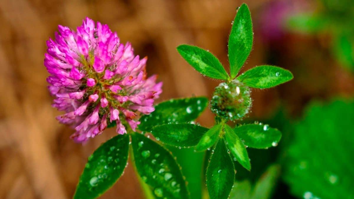 Цветы клевер  № 1341212 без смс