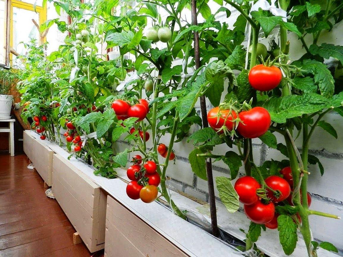 Выращивание томатов на подоконнике зимой Посадка и уход за 95